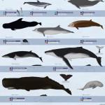 mammifères marins, marine mammals, Nouvelle Calédonie, magaptera novaengliae, baleine a bosse, dauphin, rorqual, cachalot, baleine à bec