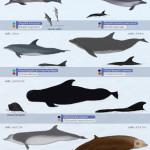 mammifères marins, Nouvelle Calédonie, Tursiops truncatus, grand dauphin