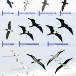 Fiche de terrain oiseaux marins des îles Loyauté