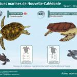 tortues marines, Chelonya mydas, Nouvelle Calédonie, Caretta caretta, émergent, traces